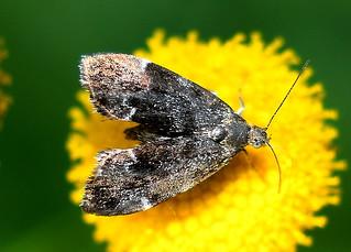 Bredvingad Nässelmal / Common Nettle Tap (Anthophila fabriciana)