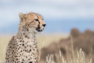 CA3I4905-Cheetah
