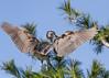 Black-Crowned Night Heron- Wings (in explore 04.20.18) (Lee J2) Tags: blackcrownednightheron nycticoraxnicticorax heron wings ephrata pennsylvania