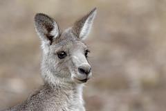 Eastern Grey Kangaroo 2018-04-13 (7D_182A5830) (ajhaysom) Tags: easterngreykangaroo macropusgiganteus woodlandshistoricpark greenvale melbourne australia tamron150600mmf563divcusdg2 canoneos7dmkii