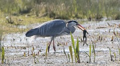 Dungeness Heron and lunch