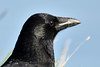 """profile pic"" (42jph) Tags: nature wildlife nikon d7200 uk england northumberland sigma 150500 st marys island carrion crow bird black profile"