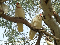 Cacatua tenuirostris 5 (barryaceae) Tags: warracknabeal fauna park vic victoria ausbird ausbirds cacatua tenuirostris longbilled corella australia