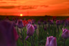 Tulpen am Abend (airamatina) Tags: tulpen sonnenuntergang feld blumen frühling nikon d 750