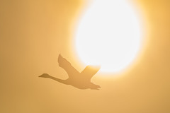 Swan flying across the Sun (BP Chua) Tags: whooperswan swan nature animal wild wildlife fly flying sun sunset orange nikon d850 600mm japan hokkaido kushiro