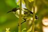 PEMBA SUNBIRD (female) (stewartbentley46) Tags: africa pemba pembasunbird sunbird tanzania