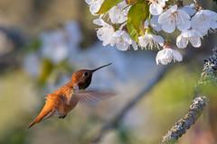Clarke_180422_7170.jpg (www.raincoastphoto.com) Tags: birds selasphorusrufus hummingbirds birdsofbritishcolumbia birdsofcanada birdsofnorthamerica rufoushummingbird britishcolumbia canada