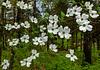 Dogwoods (Bob G. Bell) Tags: dogwood dogwoods flowertree nature flower tree woods forest spring bobbell x30 fujifilm kentucky benton marshall draffenville briensburg