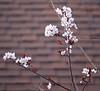 Plum Tree 20160213 (caligula1995) Tags: 2016 flowers plumtree sunset