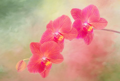 Orchid (Sandyp.com) Tags: orchid flower texturedbackground sonyalpha sonya7rii topazsoftware