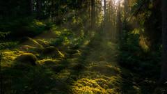 summer in the forest (Jonas G photo) Tags: forest woodland pines summer light lightrays mårsätter sweden