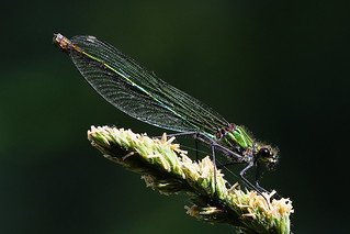 Female Banded Demoiselle on Titchfield Canal, Hampshire, UK
