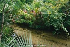 Juniper Creek (J. Parker Natural Florida Photographer) Tags: junipersprings junipercreek spring springrun creek water color morning florida centralflorida ocalanationalforest ocala mirrorless v1 nikon1 scenic nature naturalbeauty landscape trail hike hiking cloudy overcast summer green colorful tropical jungle