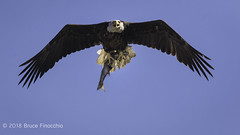 Female Bald Eagle In Flight With Sea Bass In Talons For Young (brucefinocchio) Tags: femalebaldeagle baldeagleinflight bassintalons foodforyoung seabassintalons seabass fishintalons foodforjuvenile haliaeetusleucocephalus curtnerelementaryschool milpitas southbay northerncalifornia
