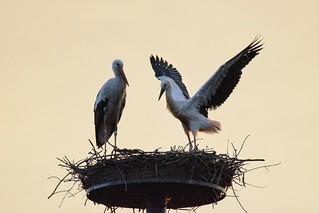 Störche in der Morgensonne / Storks in the morning sun