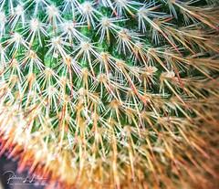 Cactus Needles (rebeccalatsonphotography) Tags: yakima washington unitedstates us olympus tough tg5 ps pointandshoot cactus needles closeup macro fillingtheframe rebeccalatsonphotography
