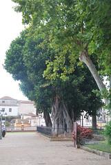 Ікод-де-лос-Вінос, Тенеріфе, Канарські острови  InterNetri  163