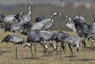 Common cranes 2018-04-13_02