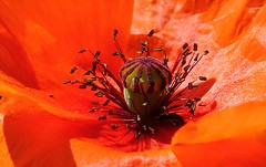 Common Poppy 070718 (3) (Richard Collier - Wildlife and Travel Photography) Tags: naturalhistory nature flowersenglishflowers flowers wildflowers commonpoppypapaverrhoeas red macro closeup