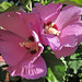 Hibiscus sp. (rose mallow) (Newark, Ohio, USA) 4