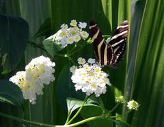 IMGP9104 (Steve Guess) Tags: museum horniman forest hill london england gb uk butterflys butterflies house flowers