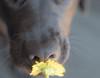 4/12 - B  Dunkel and the flower (d2roberts) Tags: dunkel imitation inspiration 12monthsfordogs18 flower blacklab blacklabrador