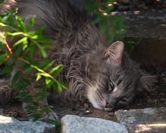 Summer induced coma (FocusPocus Photography) Tags: fynn cat chat gato tier animal haustier pet gartem garden schatten shade müde tired