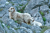 Mother and baby (timbo on the hill) Tags: d7000 nikon spring wales llandudno greatorme conwy sunny hlehmanncouk goldservice sheep mother lamb mammal domestic