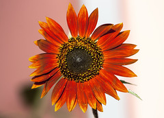VMGM_23742Flw (3) (vmgm0070) Tags: explore eos experimental sun sunflower sundowner sunflowers florida flowers flor flores flower nature natural naturaleza hojas planet plane plants plata red rosa rojo skies pr ponce pse green team yellow