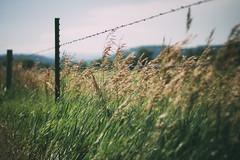 (peyt0nnn) Tags: rural country meadow fence field grass wheat blackhillsnationalforest blackhills southdakota