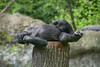 tree topper (ucumari photography) Tags: ucumariphotography north carolina nc zoo april animal mammal westernlowlandgorilla gorillagorillagorilla dsc6671 specanimal