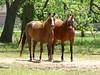 Simonton Horses (M.P.N.texan) Tags: horse horses brown bay chestnut animal simonton texas