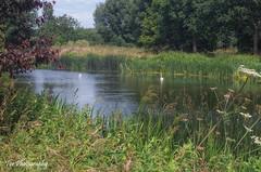 River Nene (Tor Photography) Tags: england britain uk peterborough ferrymeadows rivernene swans pentax pentaxk30 summer