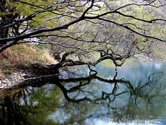 Old Trees (MelindaChan ^..^) Tags: jinhae skorea 鎮海 tree old plant reflection chanmelmel mel melinda melindachan water mirror branch travel spring