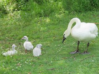 Whooper Swan (Cygnus cygnus)(Family)