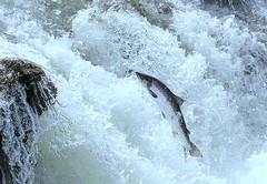 Salmonjump (Helgi Skulason photographer) Tags: helgiskulason helgiskulasongmailcom salmon reykjavik fishing iceland