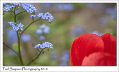 Red and Blue (Paul Simpson Photography) Tags: sonya77 paulsimpsonphotography flowers nature naturalworld plants petals tulips redflowers redtulips gardenflowers garden flowerphotography april2018 imagesof imageof photoof photosof stem blueflowers