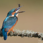 Common Kingfisher (Alcedo atthis) thumbnail