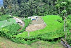 8H1_0152148 (kofatan (SS Tan) Tan Seow Shee) Tags: malaysia pahang cameronhighland bohplantation sungeipalas copthornehotel brinchang paritfalls bharatteaplantation robinsonfall kofatan