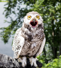 Bard owl part of Riverfest in Narrowsburg, New York   on July 21st 2018 (WRITING IN LIGHT) Tags: owl bird narrowsburg new york state raptor sullivan county hunt ngc