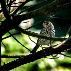 Curious (Portraying Life, LLC) Tags: dbg6 da3004 hd14tc k1mkii michigan pentax ricoh unitedstates bird closecrop handheld nativelighting shadows juvenile