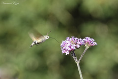 Moro-Sphinx Macroglossum stellatarum (Ezzo33) Tags: morosphinx macroglossum stellatarum france gironde nouvelleaquitaine bordeaux ezzo33 nammour ezzat sony rx10m3 parc jardin papillon papillons butterfly butterflies specanimal