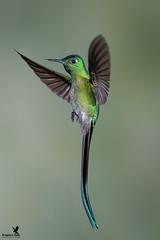 Now that is a tail! (Osprey-Ian) Tags: peru owletlodge hummingbird longtailedsylphmale