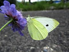 Butterfly 1700 (+1300000 views!) Tags: butterfly borboleta farfalla mariposa papillon schmetterling فراشة