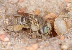 Anthophora bimaculata (timz501) Tags: bee anthophorabimaculata jersey