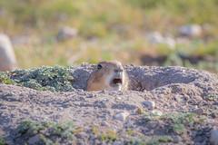 Uh Oh (gseloff) Tags: prairiedog den animal nature wildlife ranch terrellcounty texas gseloff