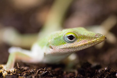Anole lizard (Zzoomin Photos) Tags: green lizard dirt eye greenskin white black tail greenlizard macro macroshot