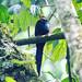 White-headed Wood-hoopoe near the Mubwindi Swamp