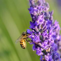 _DSF3248-XT (laurentspinner) Tags: abeille animaux fleurs insectes lavande lieux macro valensole xt