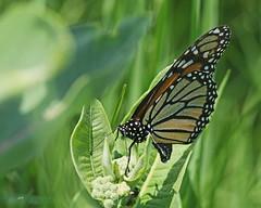 Femelle de Monarque pondant sur une asclépiade / A Monarch female laying egg on a common milkweed (alainmaire71) Tags: insecte insect lepidoptera lépidoptère butterfly danaidae danausplexippus monarque monarch nature quebec canada